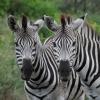 zebraer-thula-thula-dec-08