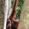 orangutan-14-jun-10-j