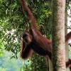 orangutan-bukit-lawang-14-jun-10-d