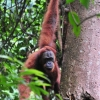 orangutan-sumatra-14-jun-10-c