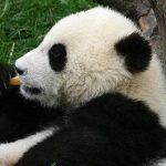 Chengdu Panda Research Center