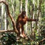 Save the Orangutan